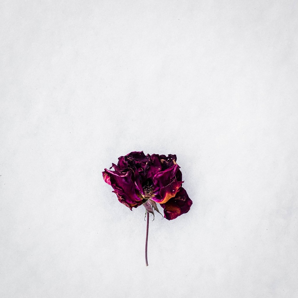 dried rose on snow